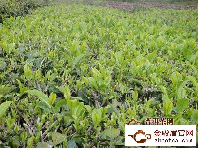 云茶2018年综合产值达843亿元,产品价格持续上扬