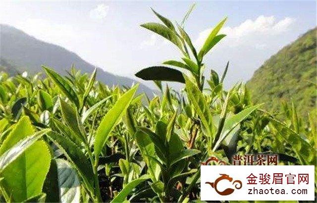 茶叶采摘标准是什么,应如何进行采摘
