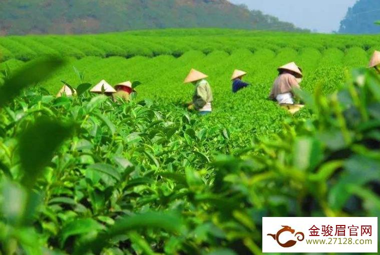 正安白茶多少钱一斤 2020正安白茶的最新价格和功效介绍